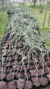 piantine oliveto